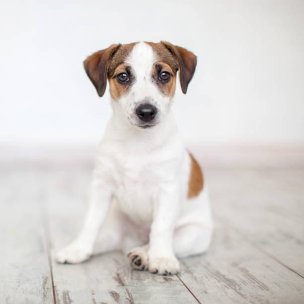 Puppy sitting on floor stock photo