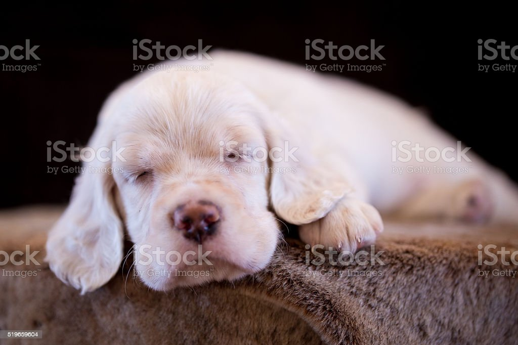 English Setter puppy sleeping sheep skin. Black background.