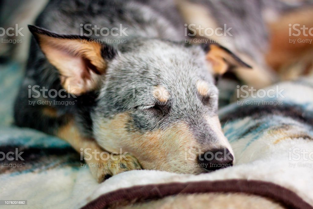 Puppy Sleeping on Bed stock photo