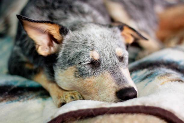 Puppy Sleeping on Bed stock photo