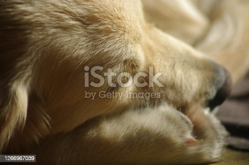 Golden retriever puppy sleeping with his head resting on his paw