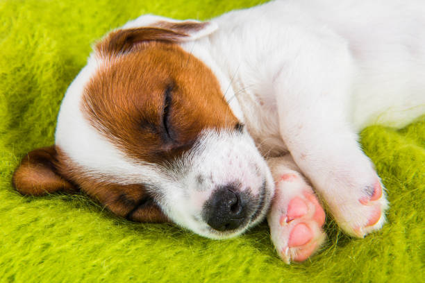 Puppy sleeping on the couch, the dog fell ill. stock photo