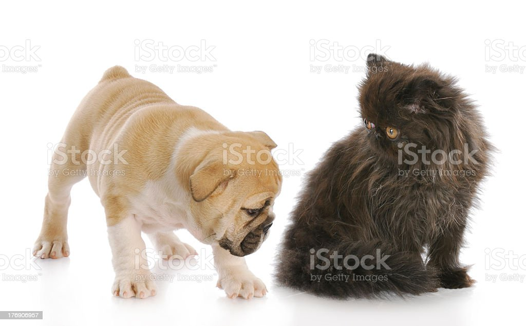 puppy sniffing kittens backside royalty-free stock photo