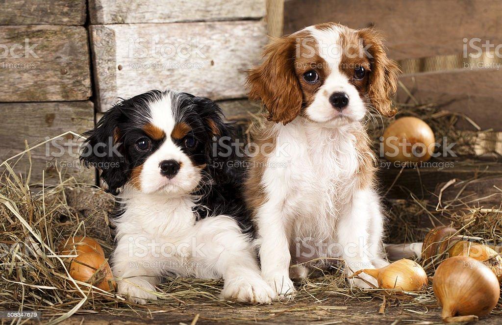 puppy Spaniel stock photo
