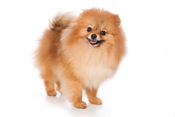 puppy spitz dog (isolated on white) - zwergspitz stock-fotos und bilder