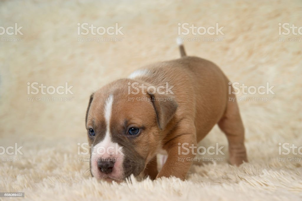 puppy stafford terrier dog portrait royalty-free stock photo
