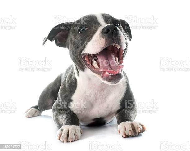 Puppy staffordshire bull terrier picture id469071722?b=1&k=6&m=469071722&s=612x612&h=xszdajqferkftdf ve1znbsltmnolzrgoigzfjvucvc=