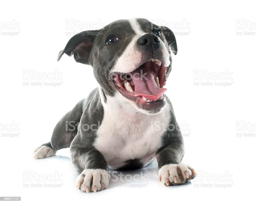 puppy staffordshire bull terrier stock photo
