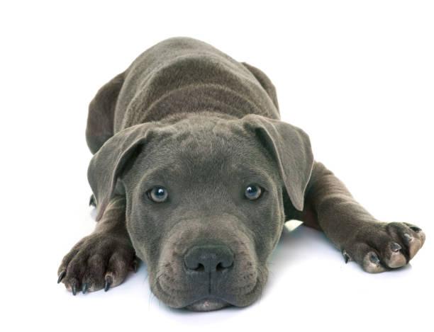 welpe staffordshire bull terrier - pitbull welpen stock-fotos und bilder