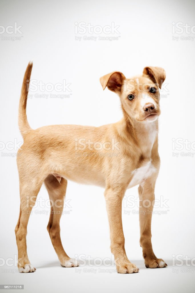 Puppy standing looking at camera stock photo