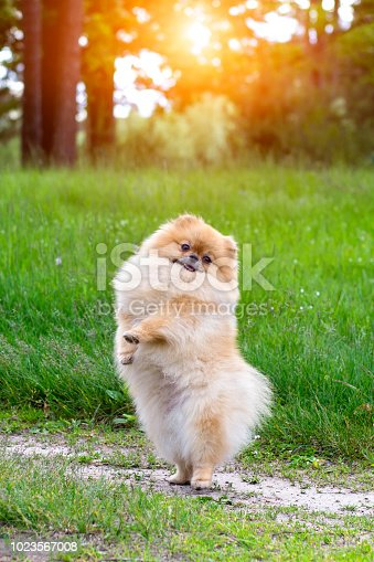 Puppy standing on his hind legs. Funny puppy.