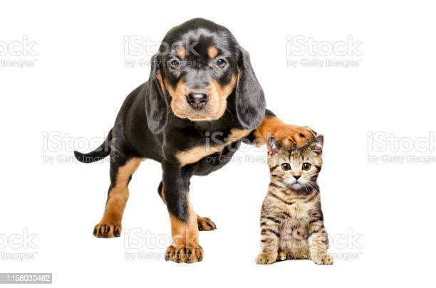Puppy standing with paw on the head of a cat picture id1158030462?b=1&k=6&m=1158030462&s=612x612&h=hcor6e0wpsm1hr7qqmrfbbzuwtn1hp8yfnueeb4pqbs=