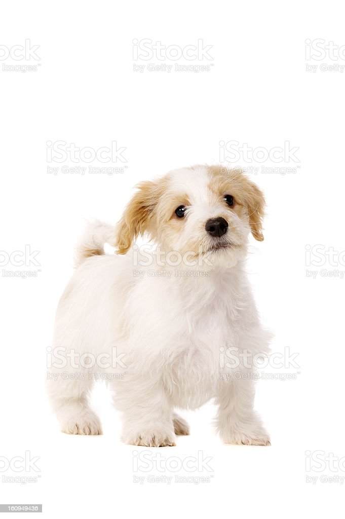 Puppy stood isolated on a white background royalty-free stock photo