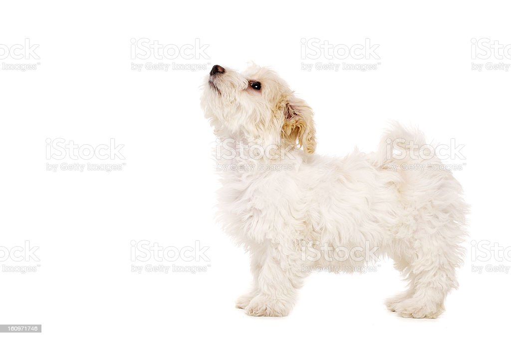 Puppy stood looking up isolated on a white background stock photo
