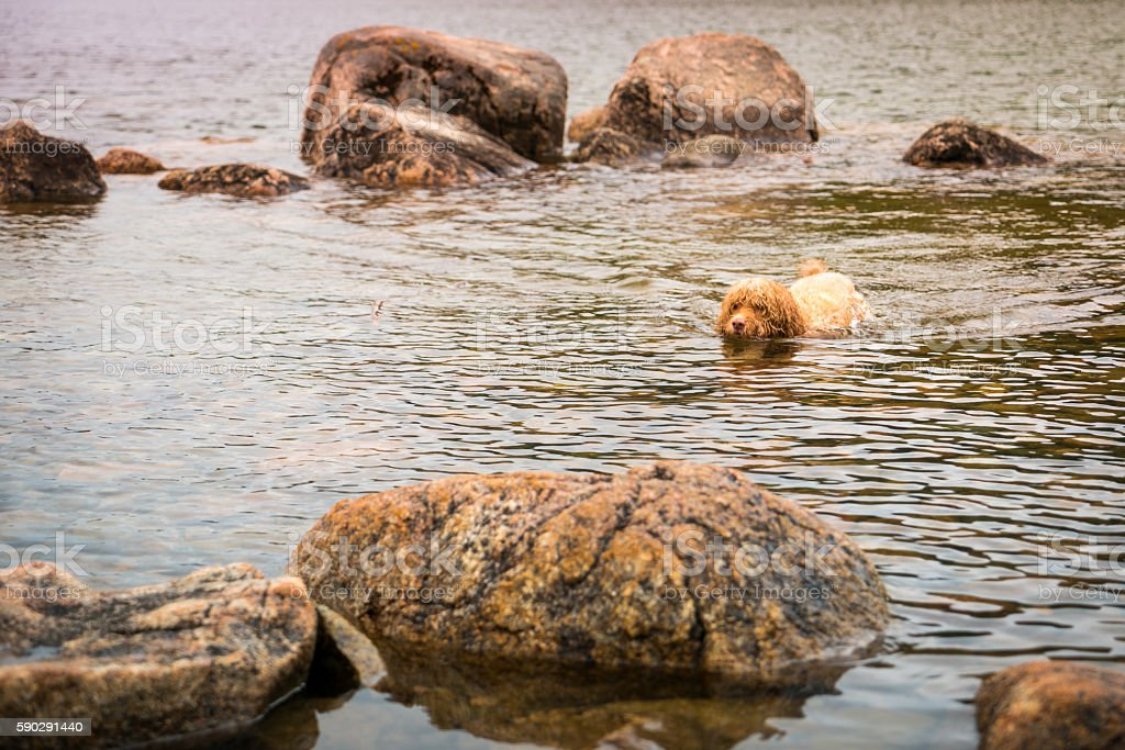 Puppy Swims in Rocky Water royaltyfri bildbanksbilder