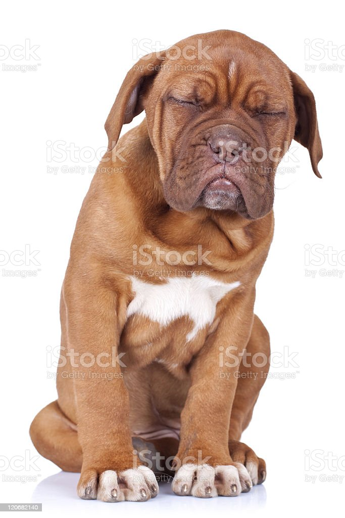 puppy taking a nap while sitting royalty-free stock photo