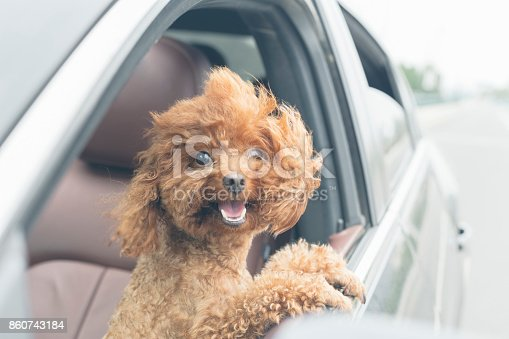 puppy teddy riding in car with head out window.Its mouth is open and tongue is hanging out.