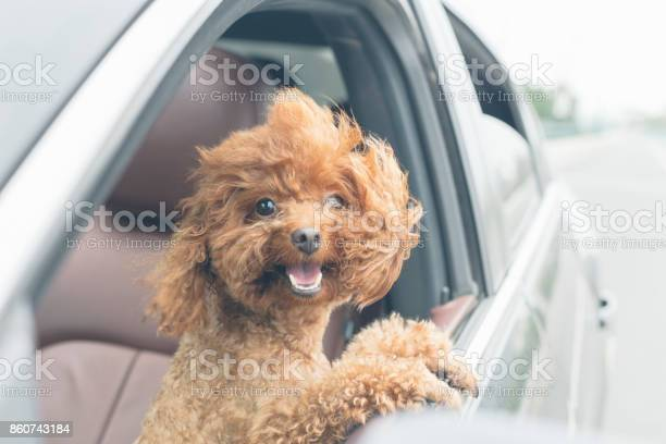 Puppy teddy riding in car with head out window picture id860743184?b=1&k=6&m=860743184&s=612x612&h=xg5hiytohmuqnirgwt08cbfsqoigp07klvta6uo8jp8=