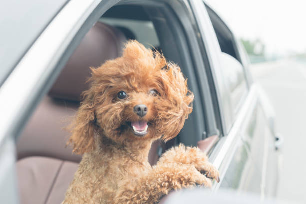 puppy teddy riding in car with head out window stock photo