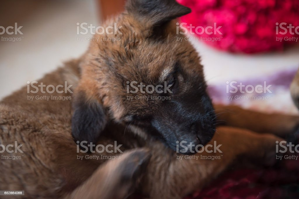 Puppy tickle. stock photo