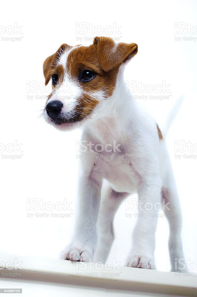 puppy upstairs royalty-free stock photo