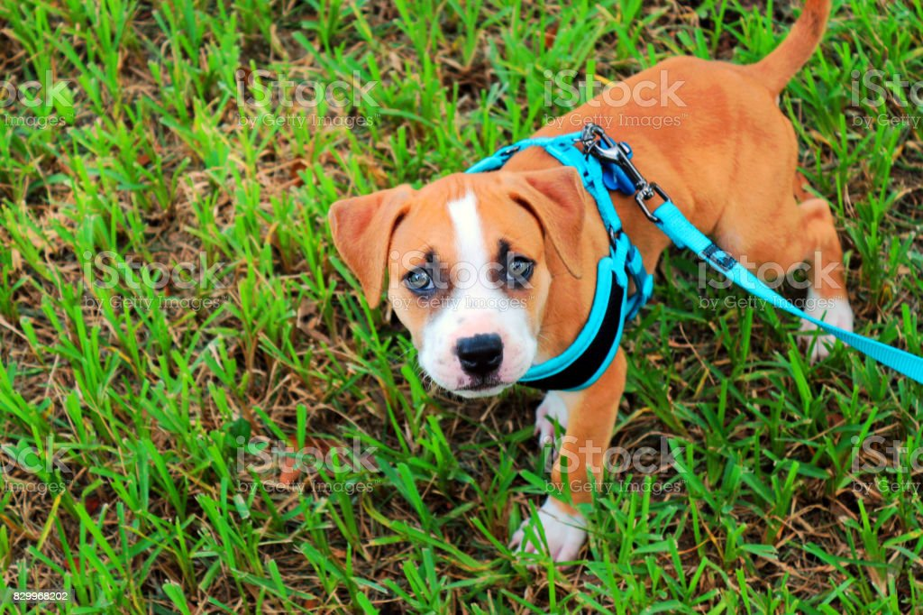 Puppy wearing a harness in the grass. stock photo