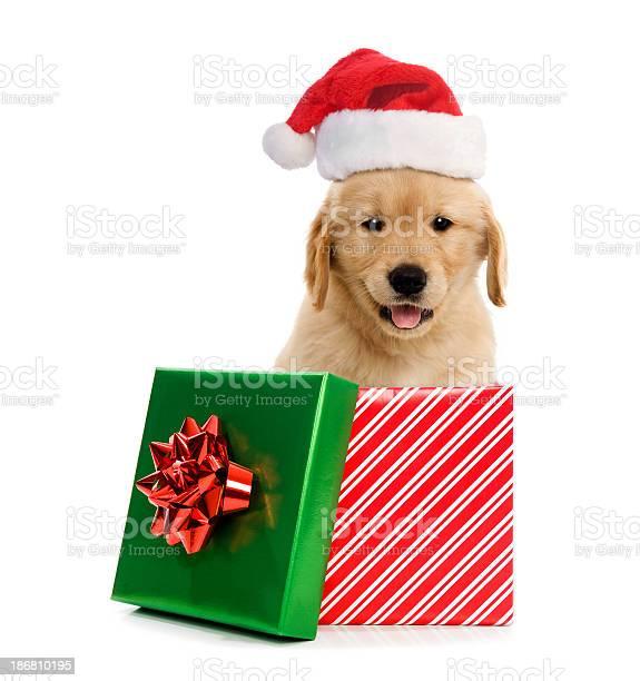 Puppy wearing santa hat in gift box for christmas picture id186810195?b=1&k=6&m=186810195&s=612x612&h=oc4nxgtxxwh0aaolqmpklaku 31pazeb15k o2z1fx0=
