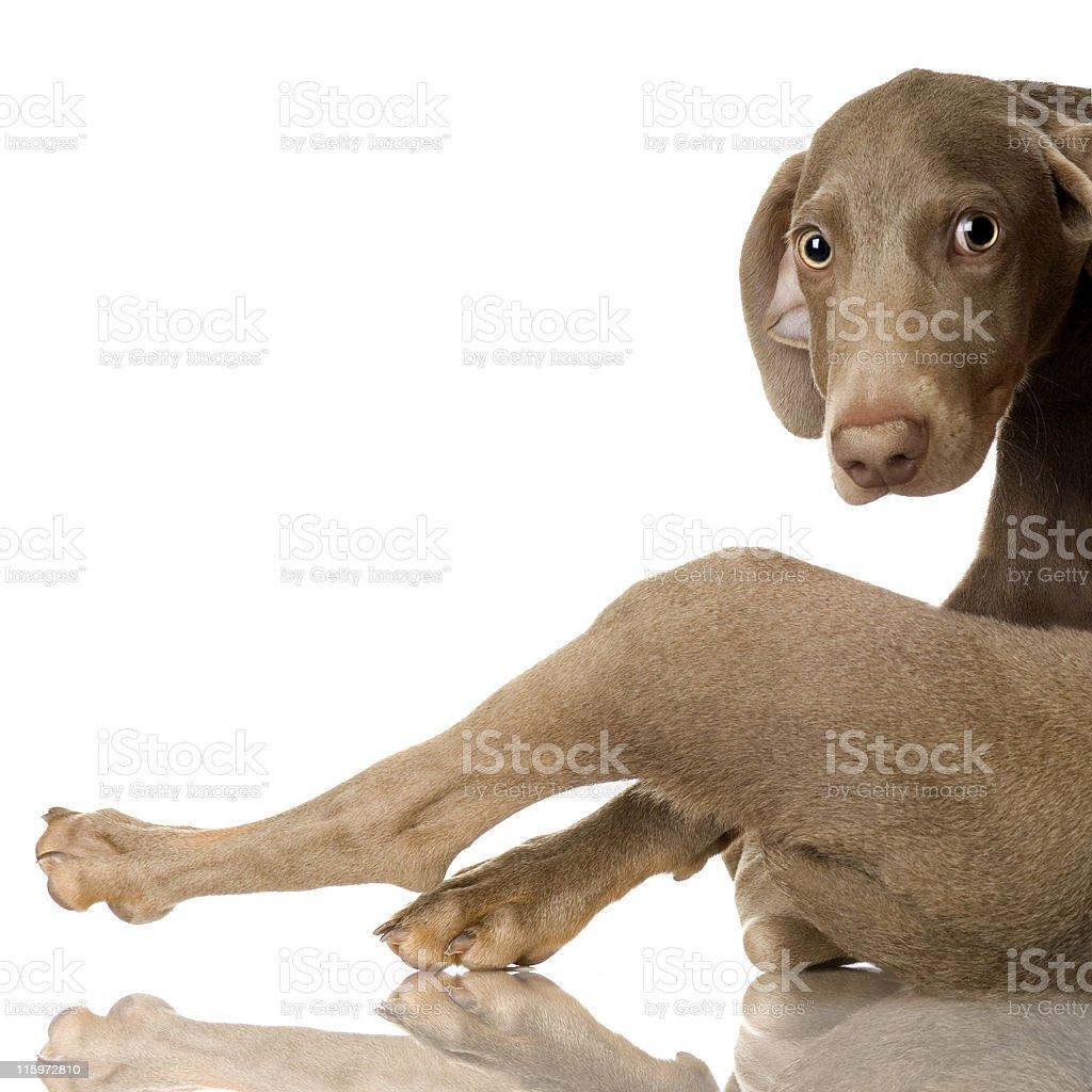 puppy Weimaraner royalty-free stock photo