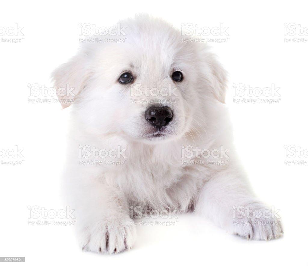 puppy White Swiss Shepherd Dog stock photo