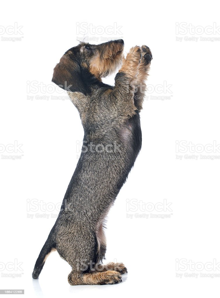 puppy Wire haired dachshund royalty-free stock photo