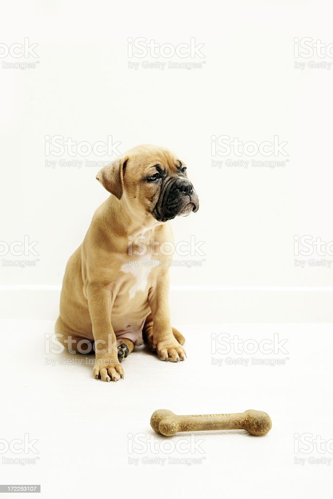 Puppy with a bone royalty-free stock photo