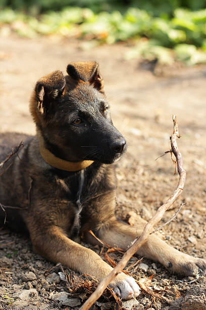 puppy with a branch - deplorable stock pictures, royalty-free photos & images