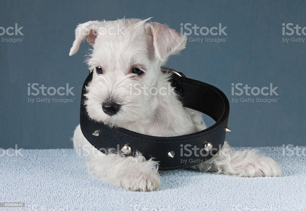 puppy with a collar stock photo