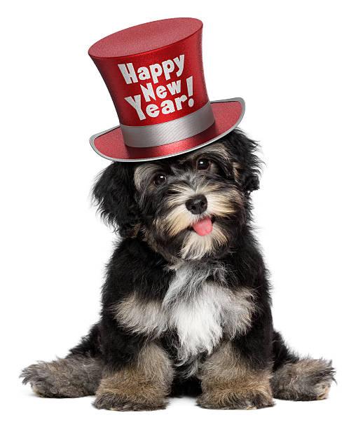 süße havaneser welpe trägt ein glückliches neues jahr-mütze - silvester mit hund stock-fotos und bilder