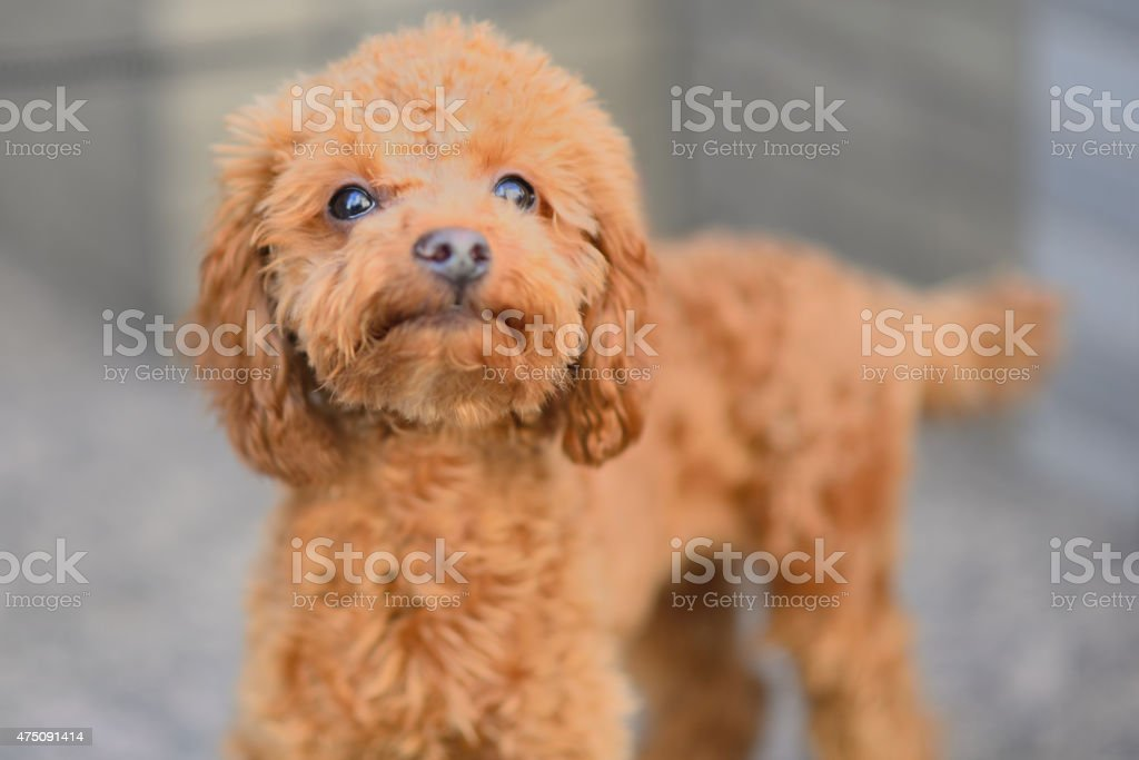 Puppy with an attitude stock photo