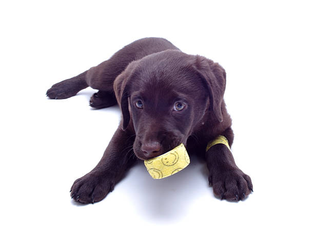 Puppy with bandage in his mouth – Foto