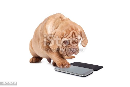 Puppy of Dogue de Bordeaux (French mastiff) interact with cellular phone.