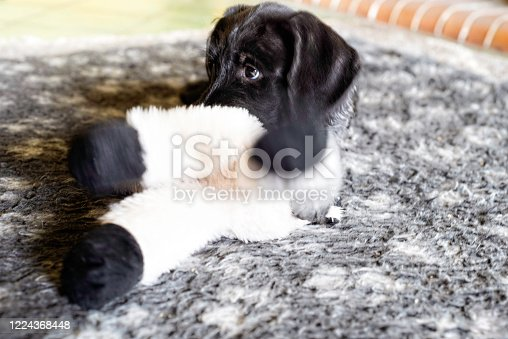 Puppy chewing on cuddly toy indoors. The pup is an eight-week old German wire-haired pointer