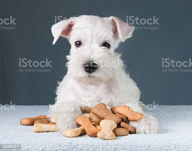 Puppy with dog biscuits bones picture id502863571?b=1&k=6&m=502863571&s=612x612&h=khgau8yi9qdvvvtaynujzuk3nwibksaxfqlos09f0ru=
