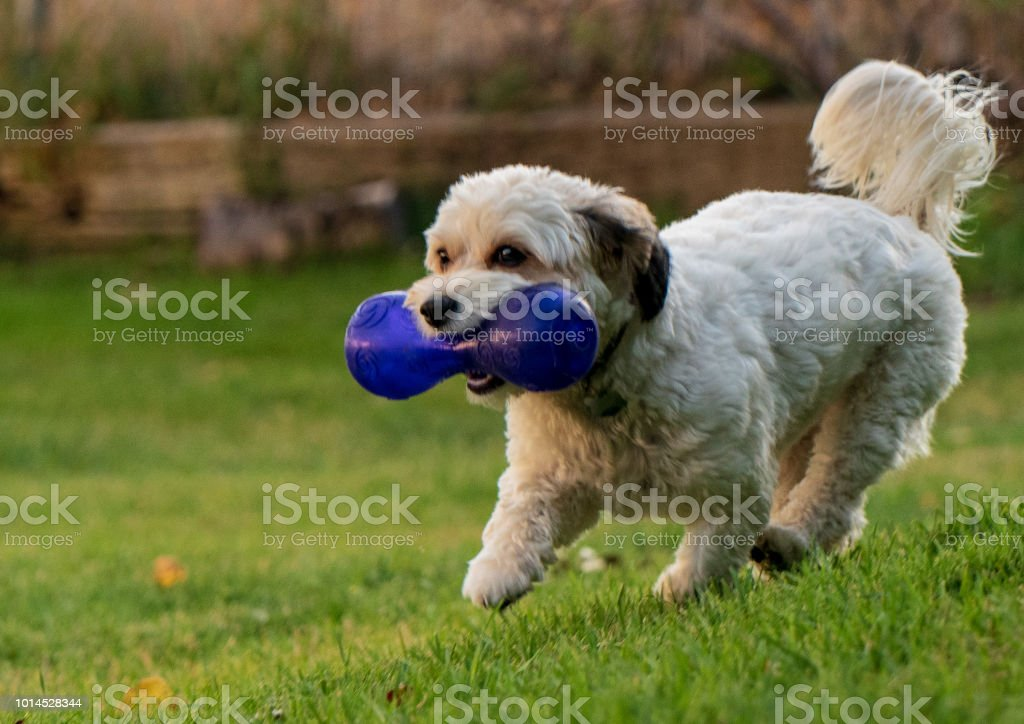 Puppy with large blue squeaky dog bone stock photo