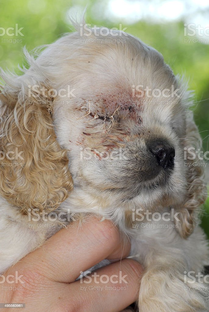 puppy with stitches stock photo