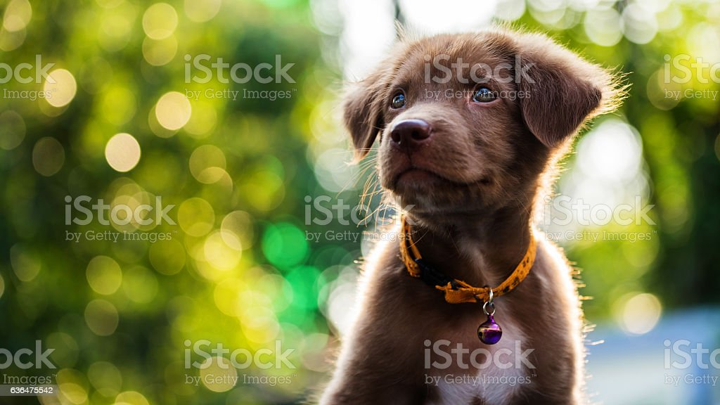 puppy with sunset bokeh background – Foto