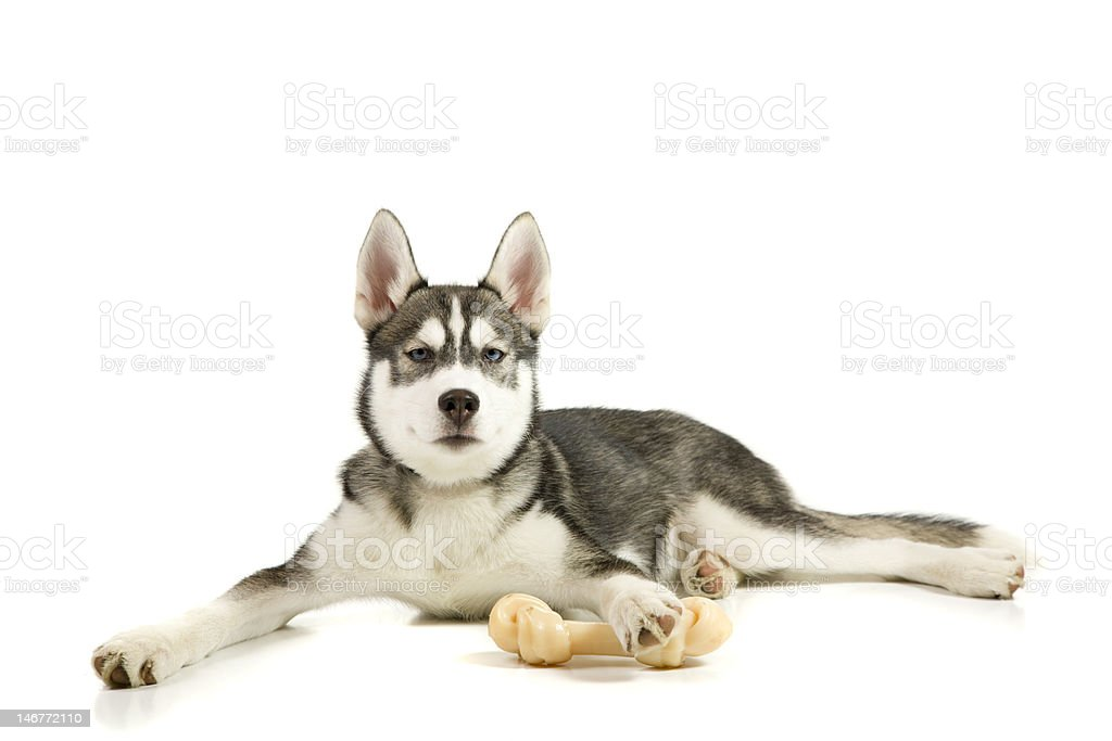 Puppy with the bone royalty-free stock photo