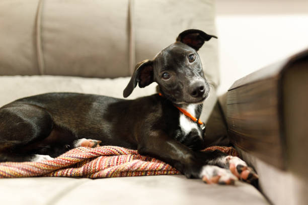 Puppy with tilted head and crossed paws lying on sofa stock photo