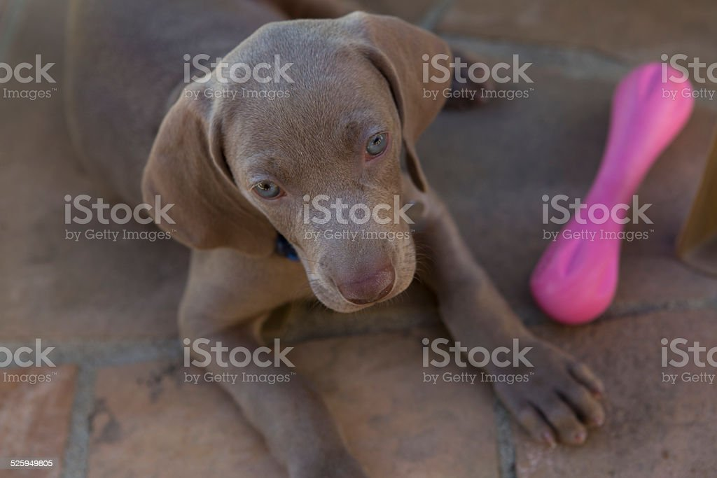 Puppy with toy stock photo