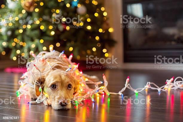 Puppy wrapped up in christmas lights picture id459292441?b=1&k=6&m=459292441&s=612x612&h=1sc vicrzhayvs7z1 5vrzfysyrslw7mcbw4alwi3rk=
