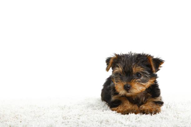 yorkshire-terrier welpe - teppich englisch stock-fotos und bilder