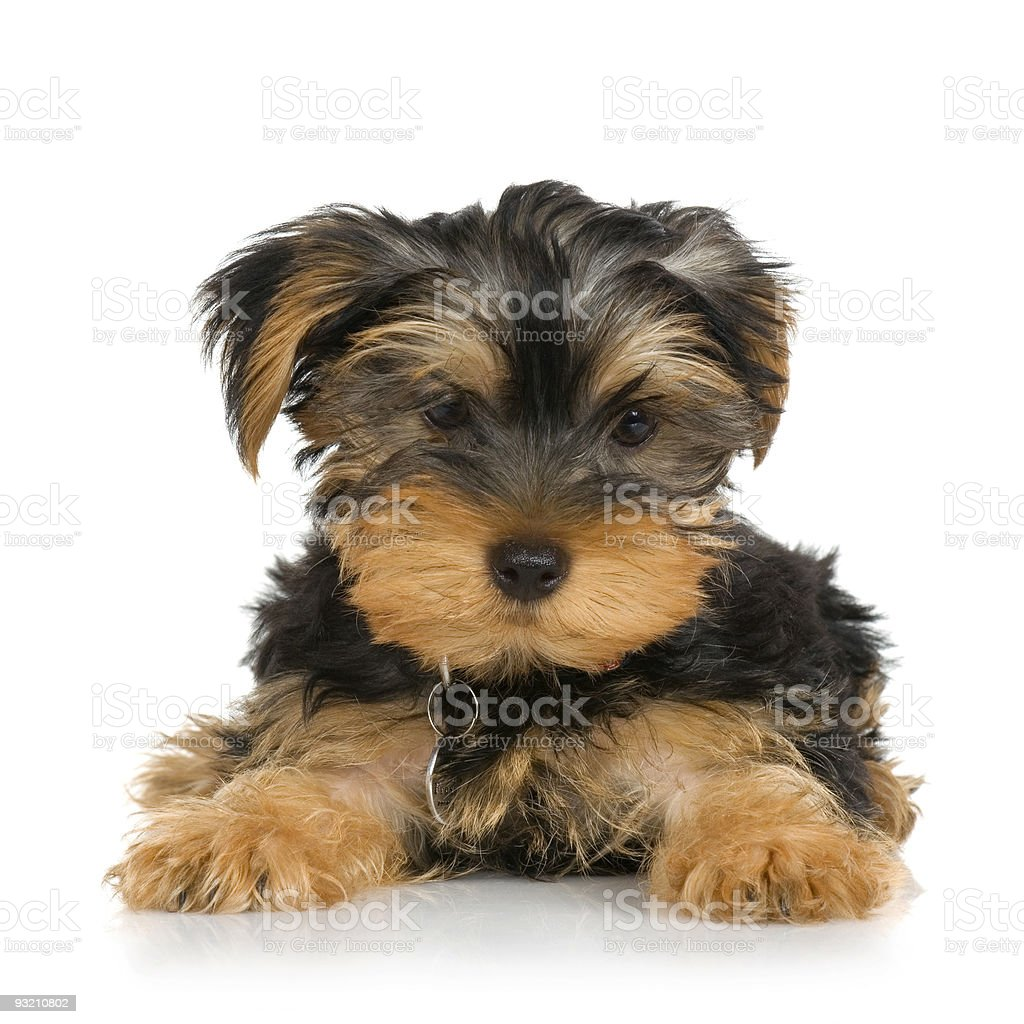 puppy Yorkshire Terrier (2 months) royalty-free stock photo