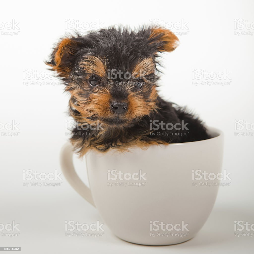 Puppy Yorkshire Terrier Sitting In Tea Cup Stock Photo Download Image Now Istock