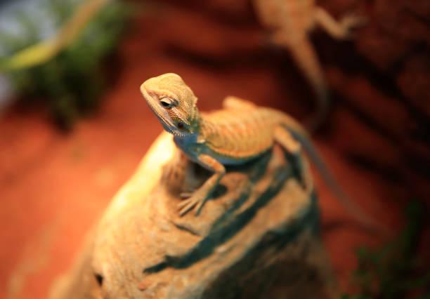 acheter une licence - animaux familiers exotiques photos et images de collection